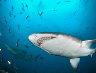 Shark-blog-10